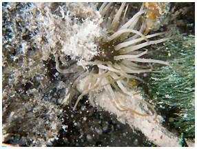 Paddleboard Eco Tours sea anemone